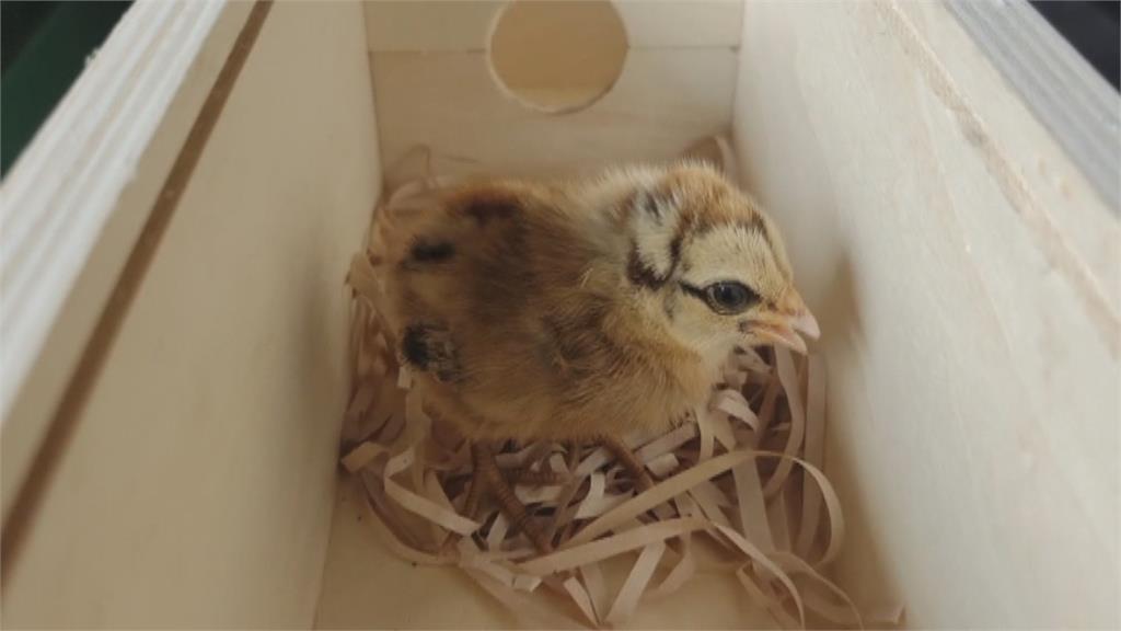 小雞被誤認國寶級藍腹鷴 民眾送養學校被退貨