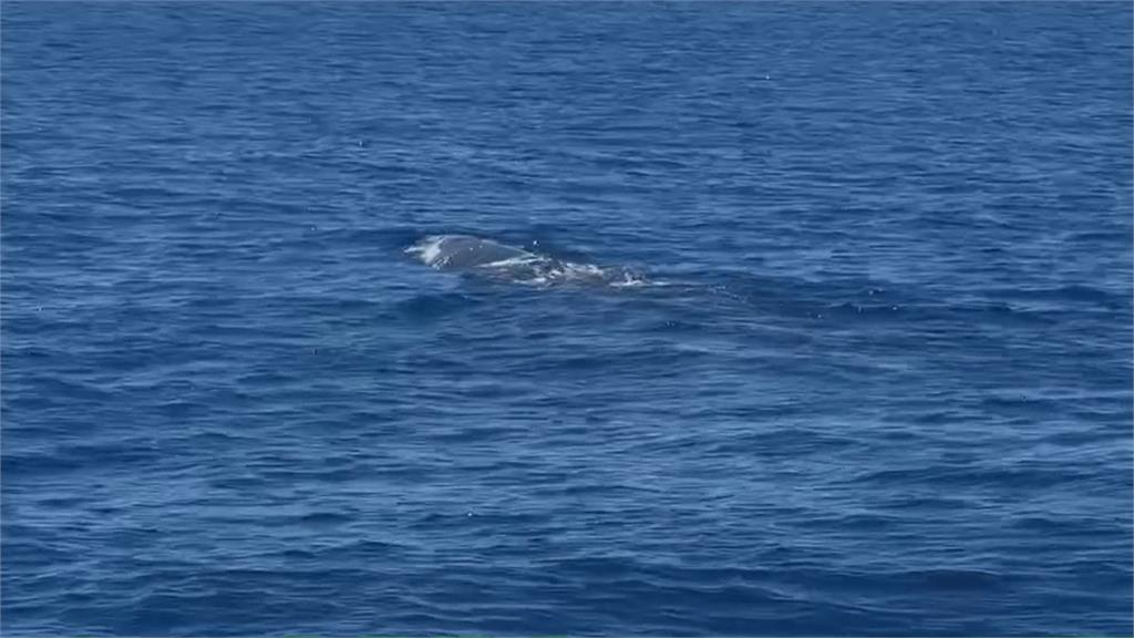 微解封! 花蓮賞鯨團首發... 抹香鯨浮出海面看稀客