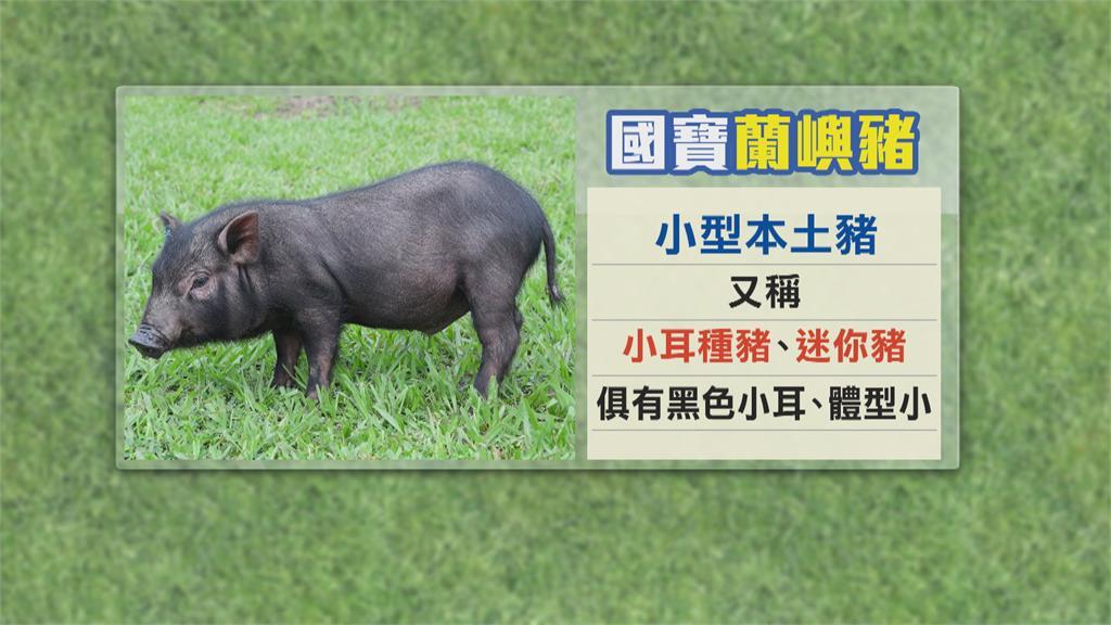 保種40年歸鄉 「蘭嶼豬」 成功誕下回流第一代