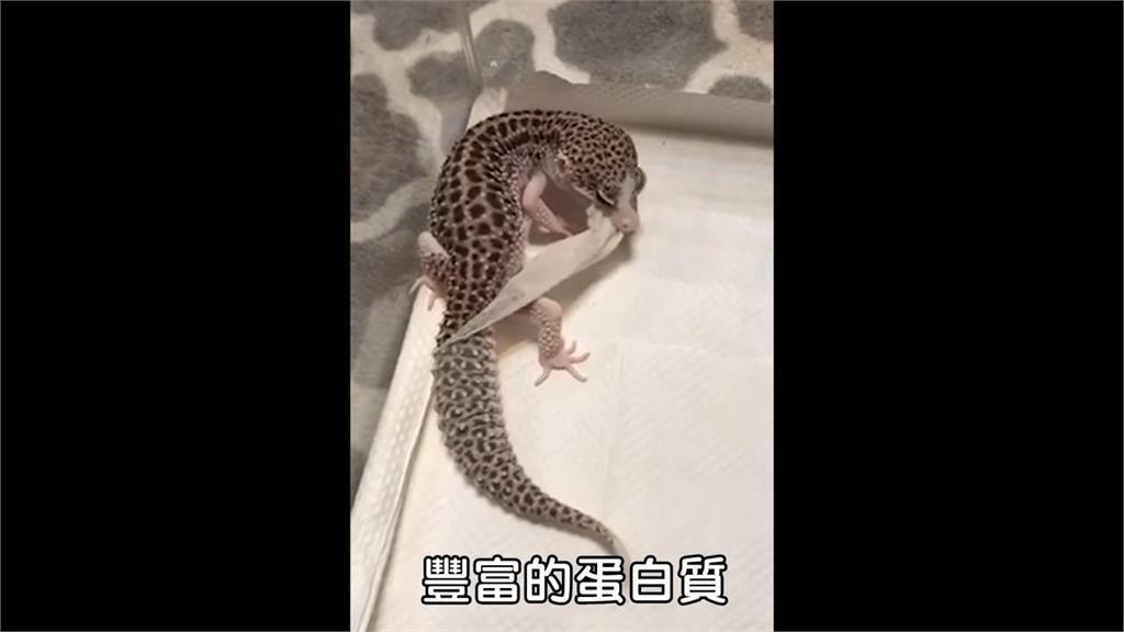 扭轉爬蟲類可怕印象!超溫馴肥尾守宮饋頭萌樣融化網友