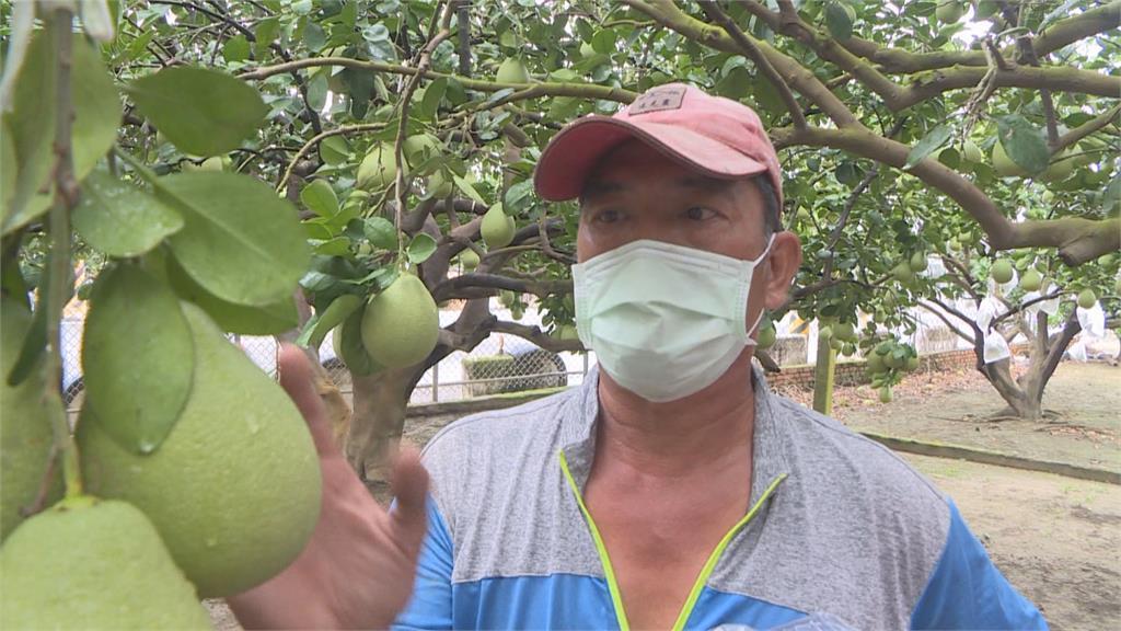 颱風後恐有西南氣流帶來豪雨 台南大內酪梨、麻豆文旦果農急防颱