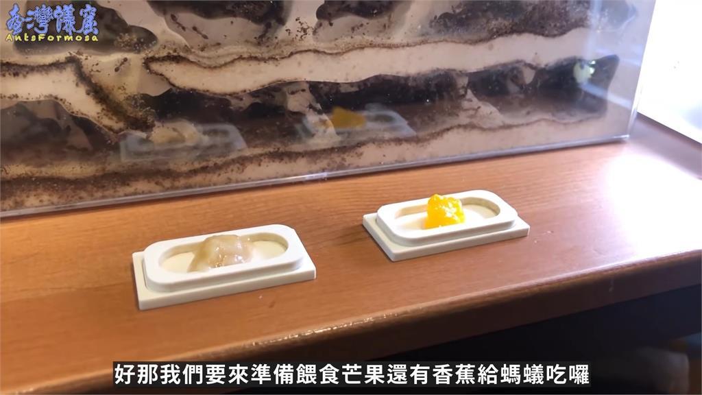 香甜芒果竟然會輸?螞蟻更快吃光台灣這水果 養蟻達人笑虧:纖維太粗了