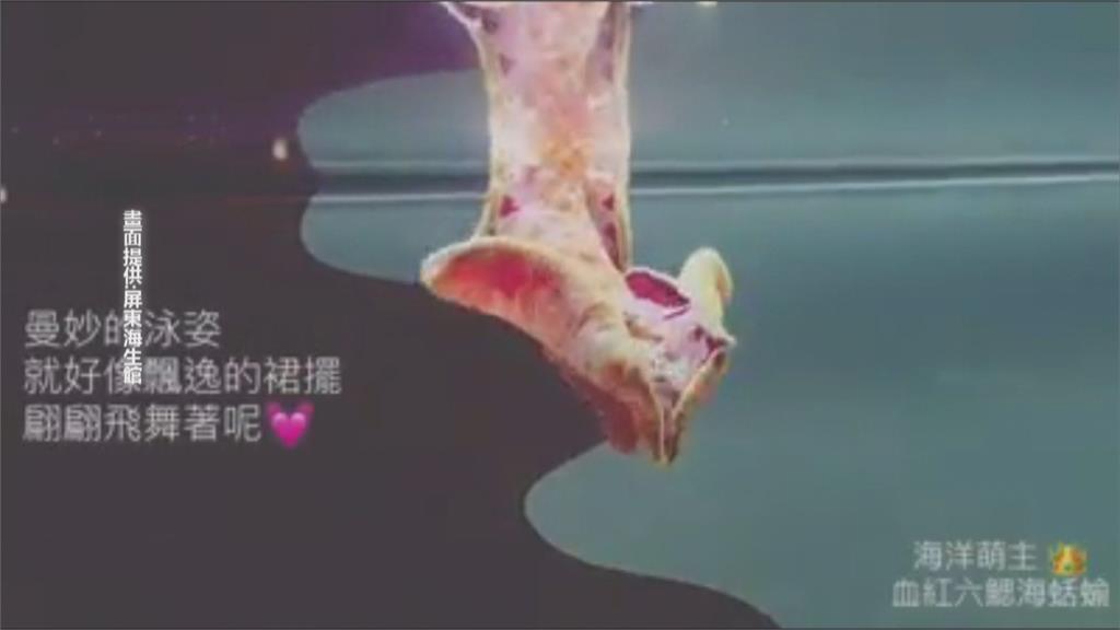 這不是五花肉!血紅六腮海蛞蝓是西班牙舞孃