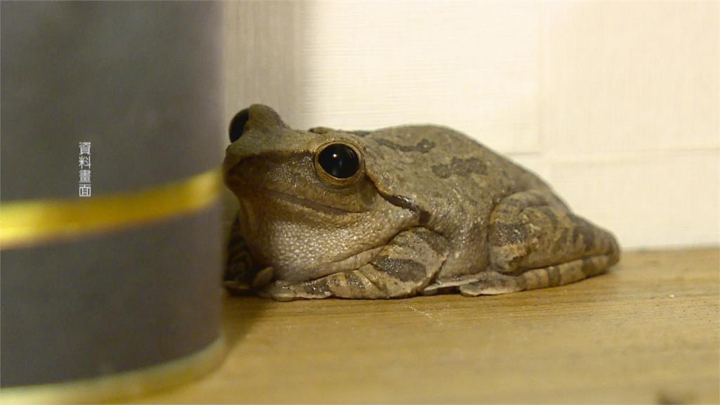 開一天損失一天 熱炒店營業額剩三成 鎮店之寶樹蛙鬱悶往生