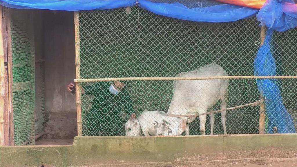 世界最小乳牛身高僅51公分!孟加拉民眾不顧封城爭睹嬌小萌樣