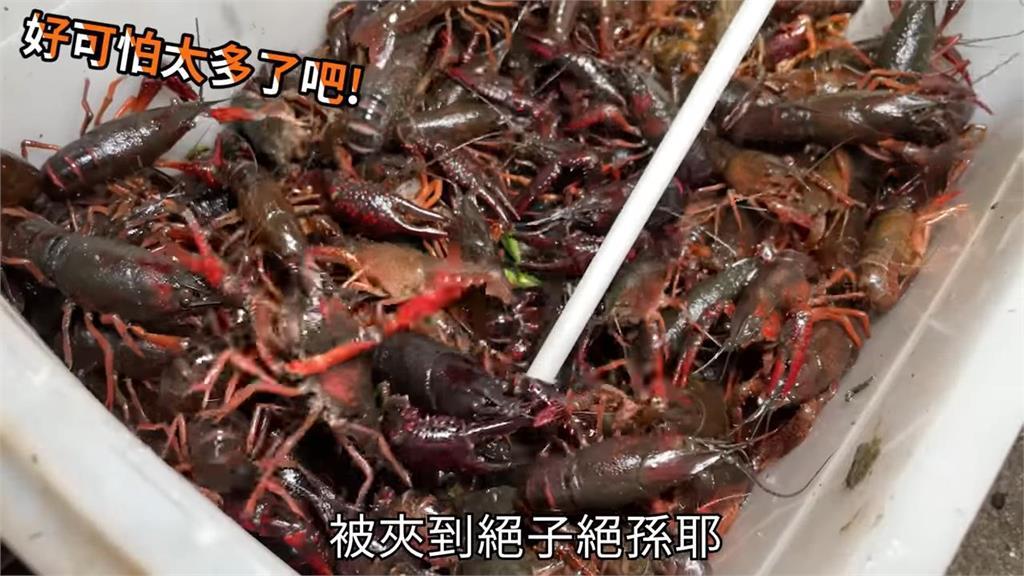 外來種侵襲台生態!「國民女友」夜衝野溪滅小龍蝦 3小時暴抓500隻