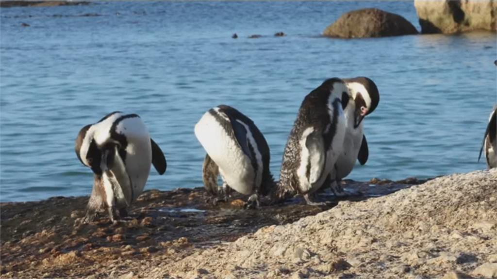 南非63隻企鵝集體死亡 凶手竟是蜜蜂!澳洲無尾熊3年銳減3成