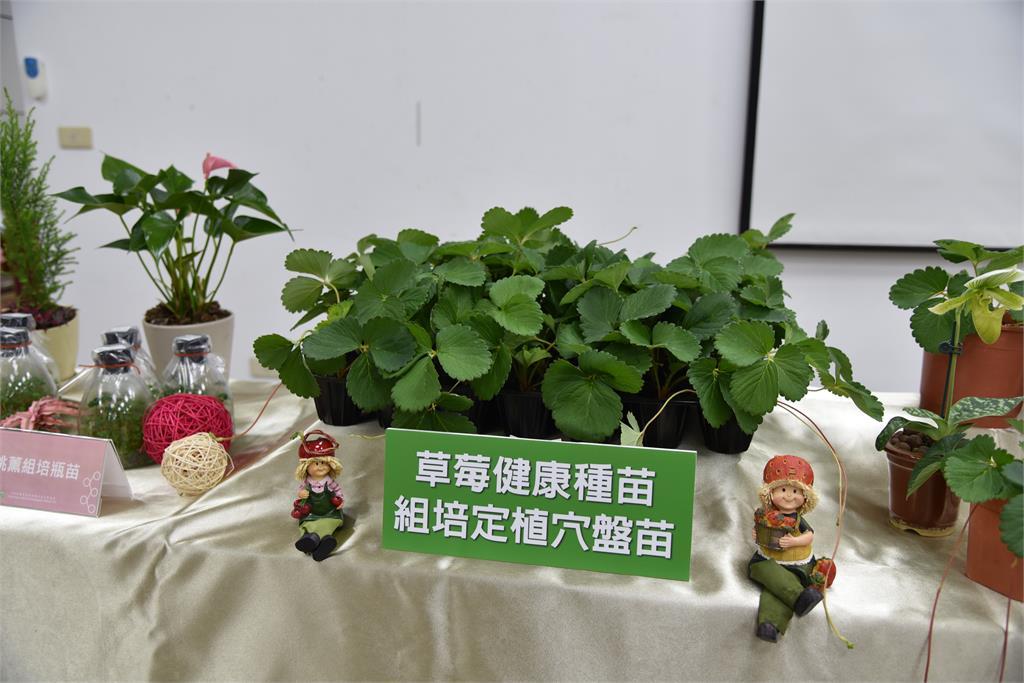 水果皇后也有護城衛兵!草莓健康種苗生產體系成形